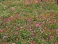 Jiuhu Flower Field 九湖花田 - panoramio (1).jpg