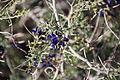 Joshua Tree National Park flowers - Psorothamnus schottii - 1.JPG