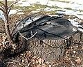 Juglans nigra (Black Walnut) (32695971000).jpg