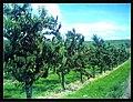 June Flower ^ Cherry Farming Endingen Kaiserstuhl - Master Seasons Rhine Valley Photography 2013 - panoramio (11).jpg