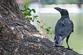 Jungle-crow-corvus-macrorhynchos.jpg