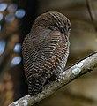Jungle Owlet Glaucidium radiatuam.jpg