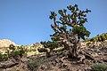 Juniper Trees, Morocco 2017 (36307317062).jpg