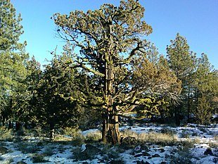 Juniperus occidentalis on Lassen.jpg