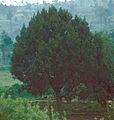 Juniperus procera Kenya1.jpg