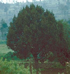 Juniperus procera - Image: Juniperus procera Kenya 1