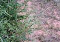 Juniperus scopulorum adult foliage.jpg