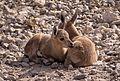 Juvenile Nubian ibex (50843).jpg