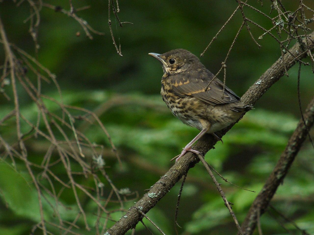 File:Juvenile Song Thrush (Turdus philomelos), Puszcza ...