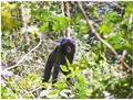 Juvenile bonobo.png