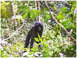 Iyaelima people - Juvenile bonobo