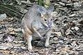 Kangaroos at WILD LIFE Sydney Zoo (Ank Kumar) 03.jpg