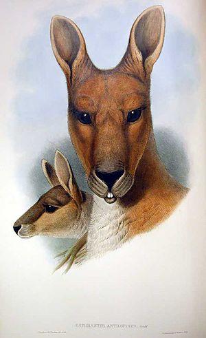 Macropus antilopinus