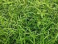 Kawun Rice.jpg