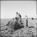 Kern County, California. Migrant youth in potato field. By the time this digging machine comes down the next row in... - NARA - 532137.tif