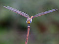 Keyhole Glider (Tramea basilaris) (11857317026).jpg