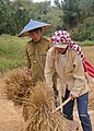 Khamsone threshing rice (5142986113).jpg