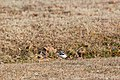 Killdeer (32126495003).jpg