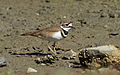 Killdeer (Charadrius vociferus) at Richardson Bay.jpg