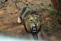 King of Nandankanan Zoological Park, Bhubaneswar, Odisha, India.jpg