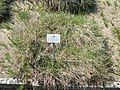 Koeleria macrantha - Botanischer Garten München-Nymphenburg - DSC07880.JPG