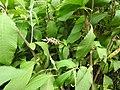 Koenigia polystachya-2-badulla road-nuwara eliya-Sri Lanka.jpg