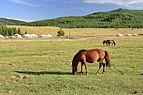 Konie mongolskie w Parku Narodowym Gorchi-Tereldż 01.JPG