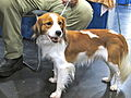Kooikerhondje puppy (8109963743).jpg