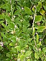 Korina 2010-08-25 Lycium chinense.jpg
