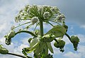 Korina 2012-06-12 Heracleum mantegazzianum 2.jpg