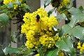 Korina 2013-03-30 Mahonia aquifolium 4.jpg