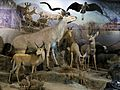 Kudu and Reedbuck diorama taxidermy, Powell-Cotton Museum, Birchington Kent England.jpg