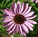 Kwiatek 1533.jpg
