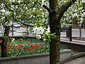 Kwitnąca czereśnia - panoramio (2).jpg