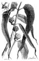 LaNature1873EucalyptusGlobulus.png