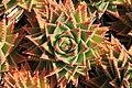 La Palma - Los Llanos de Aridane - Las Manchas - Plaza de Glorieta - Aloe perfoliata 02 ies.jpg