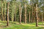 Laan met meerdere dode bomen. Locatie, het Katlijker Schar (Ketliker Skar) 02.jpg