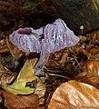 Laccaria amethystina, Kaapse bossen. Amethistzwam.jpg