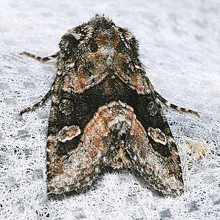 <i>Lacinipolia olivacea</i> Species of moth