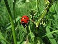 Ladybug aphids.JPG