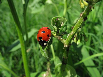 Predation - Seven-spot ladybirds select plants of good quality for their aphid prey.