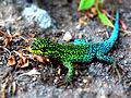 Lagartija Verde (Liolaemus tenuis) 2.JPG