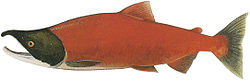 Lake Washington Ship Canal Fish Ladder pamphlet - male freshwater phase Sockeye.jpg