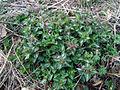 Lamium maculatum Podkomorské lesy.JPG