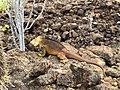 Land Iguana (47932317127).jpg