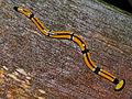Land Planarian (Bipalium sp.) - Deer Cave Boardwalk, Mulu NP, Sarawak, Malaysia (7).jpg