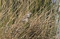 Lanius collurio - Red-backed shrike 08-1.jpg