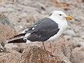Larus occidentalis Monterey September 2012 002.jpg