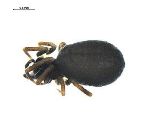 <i>Lasaeola</i> Genus of spiders