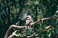 Laughing Kookaburra (Dacelo novaeguineae) (9898323045).jpg